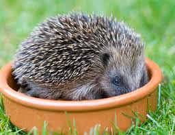 Hoglets are out and about