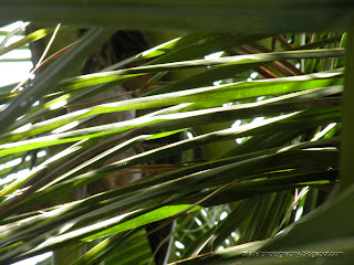 Coconut-Leaf