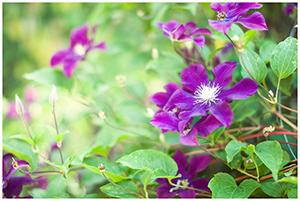 Clematisy - pnącza w fioletach
