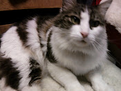 ADOPTED!!  ROCKY - MAINE COON
