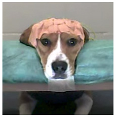 A beagle with its head on the head rest, looking at the computer screen