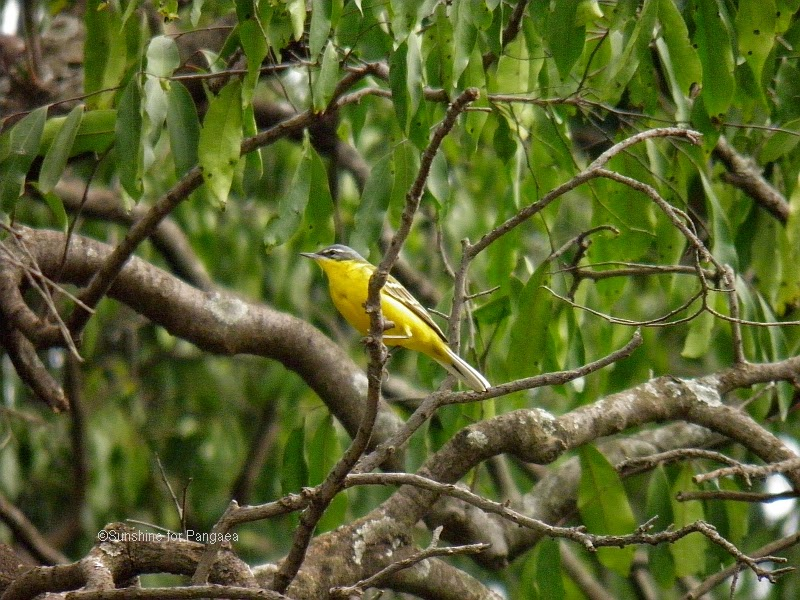 Yellow Wagtail lake tana ethiopia