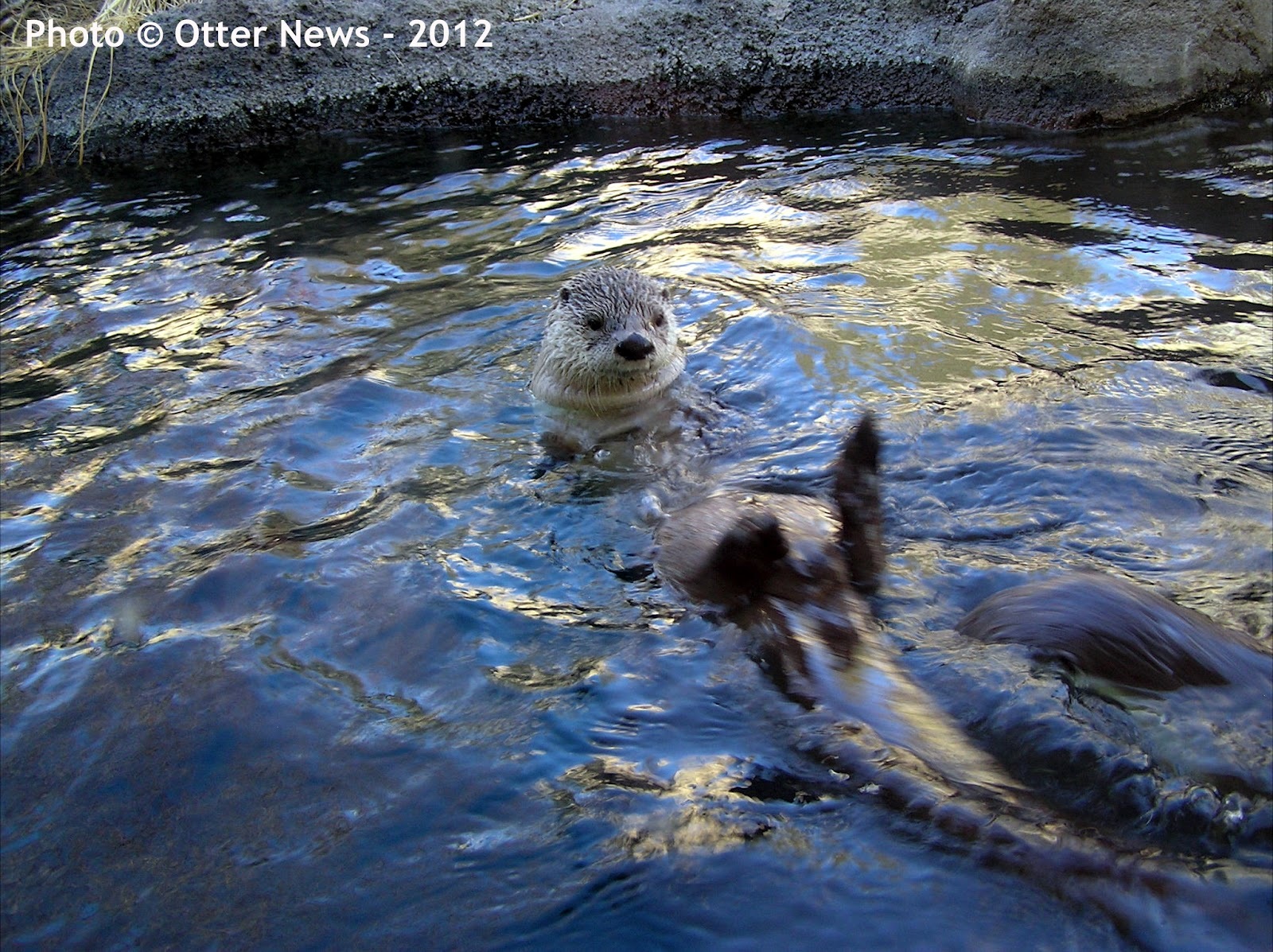 baby river otter swimming