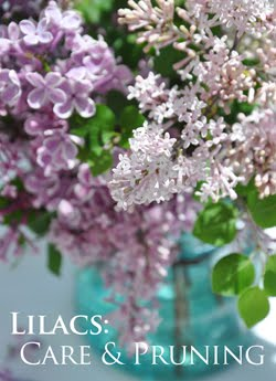 Lilacs: Planting, Care and Pruning