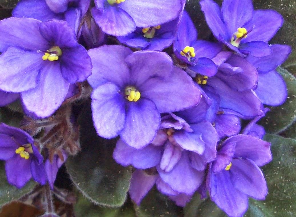 Naturaleza Tropical: La Flor Violeta Africana, género