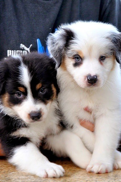 Taylor & Mardi ~ 7 week old Aussie pups