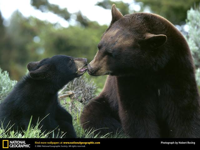 Bebé Oso con Mamá Oso Negro