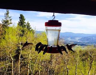 Hummingbirds in the Rockies
