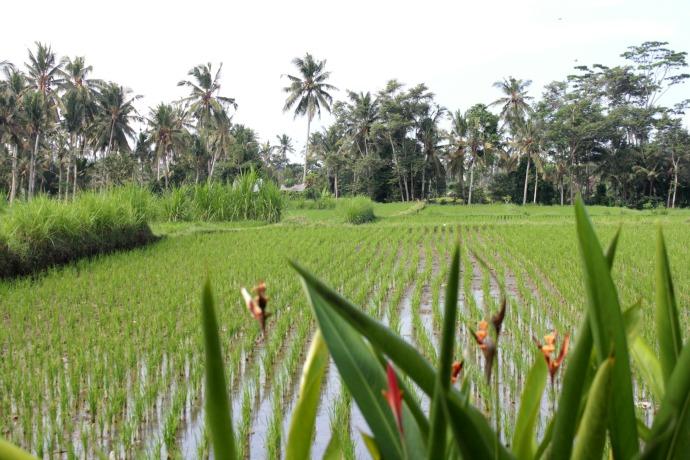 Ubud Rice Paddies Bali