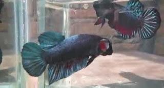 Gambar ikan Cupang dengan unik