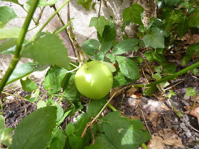 pomme-jardin