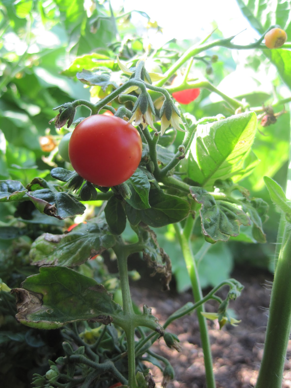 how to keep tomato plants warm at night