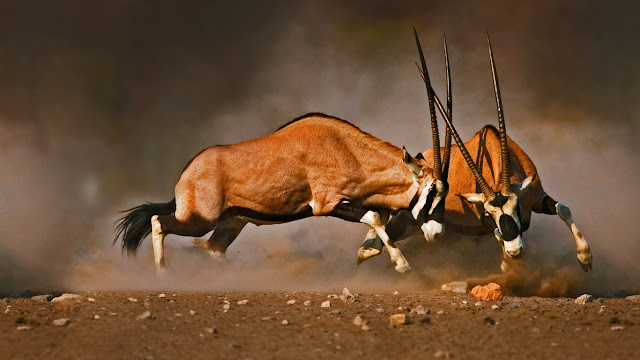 Male gemsboks clash at Etosha National Park, Namibia (© Johan Swanepoel/Shutterstock) 711