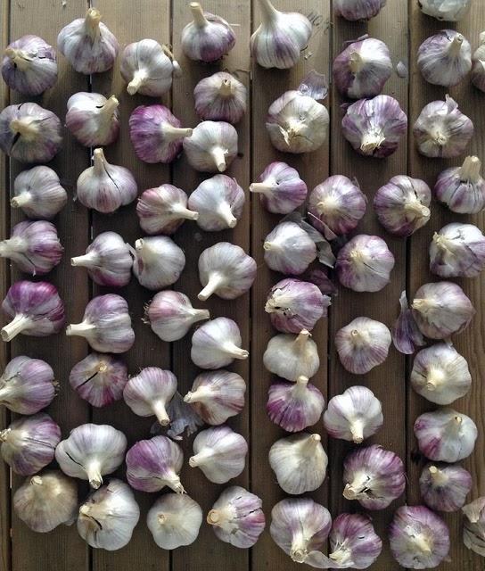 garlic planting stock