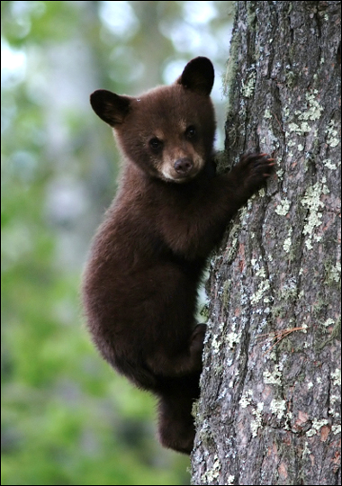 clip art and picture: Baby black bears