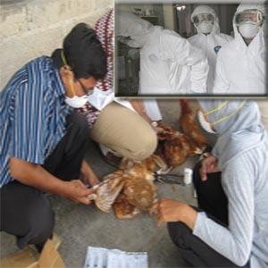 Bahayakah Penyakit Flu Burung ?