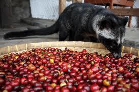 Kopi Luwak-jual kopi luwak asli indonesia,murah,manfaat kopi luwak,harga kopi luwak,proses pembuatan kopi,KOMO's COFFE