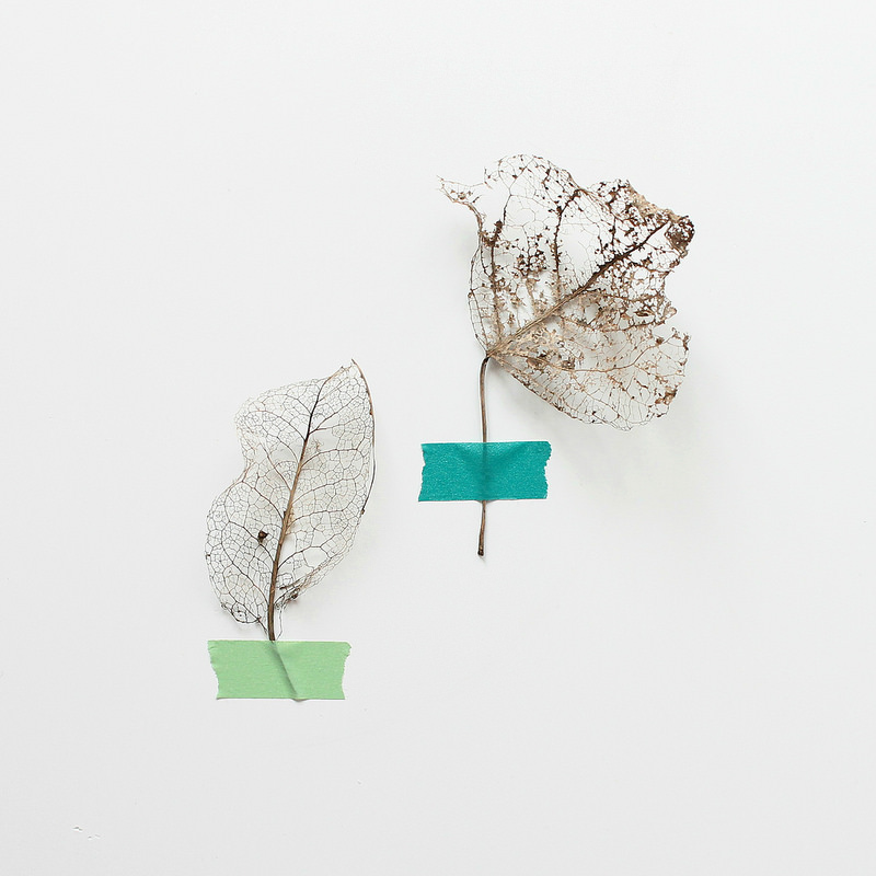 collected treasures - leaf skeletons