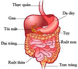 chức năng chính của đại tràng với cơ thể con người