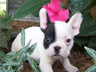 French Bulldog Puppy Picture