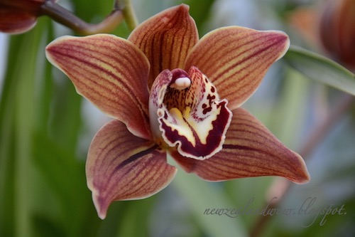 Beauty Orchid