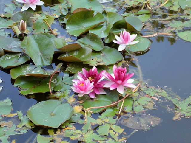 Pink & white water lillies