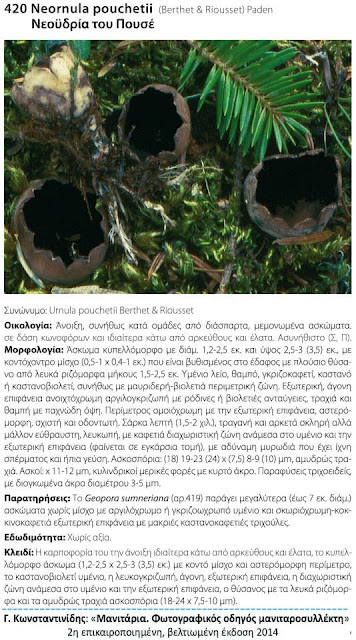 Neournula pouchetii (Berthet & Riousset) Paden