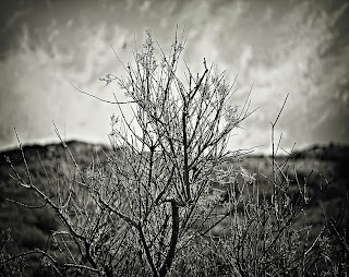 Fine Art black and white picture of a dead tree