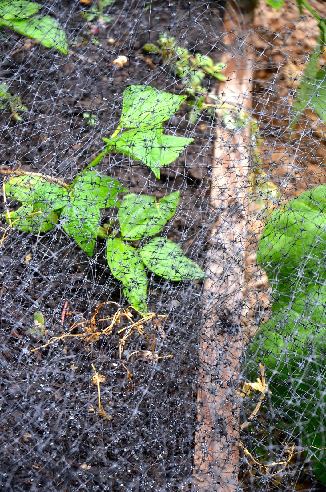 Backyard Quail Production : Standard conical tomato cages wont deter digging animals because the
