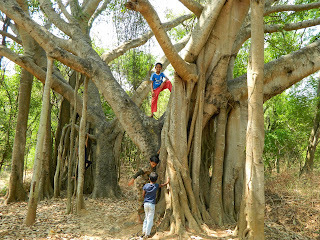 hundred years old banyan tree.