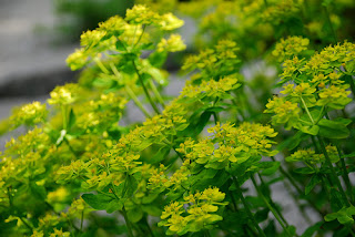 euphorbia bracts flowers green