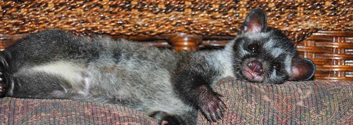 Musang or Masked Asian Civet Cat