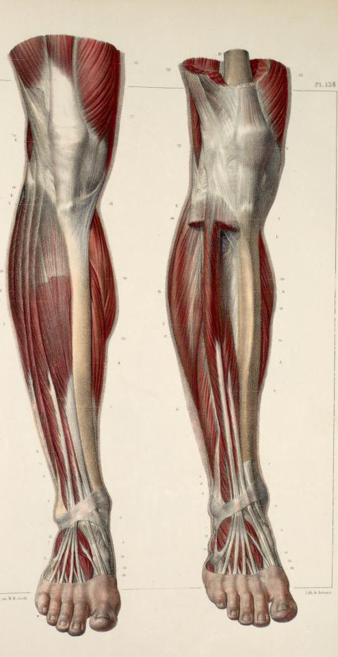 Diagram Of Leg Muscles And Tendons