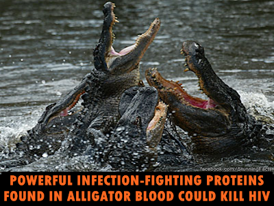 Alligator Blood May Lead to Powerful New Antibiotics