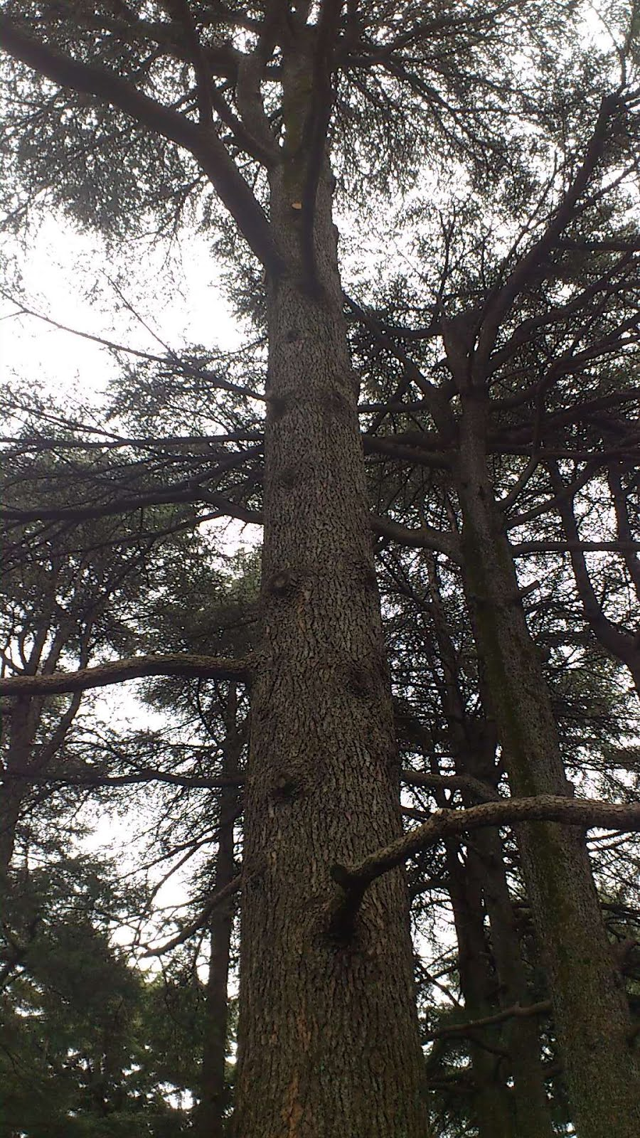 股旅・改 Lebanese Cedar (レバノン杉)