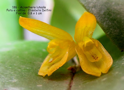 Acianthera luteola do blogdabeteorquideas