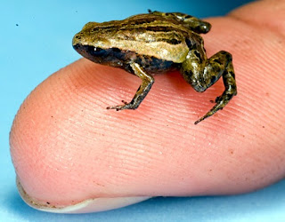 Weirdest Frogs On Earth world's smallest frog