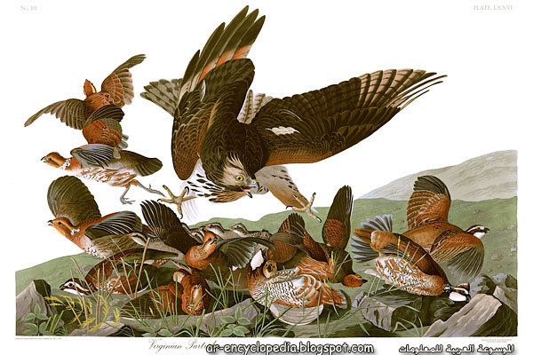 أجمل صور طيور أمريكيه مرسومه John_James_Audubons_Plate_76_-_Birds_of_America_(Virginian_Partridge).jpg
