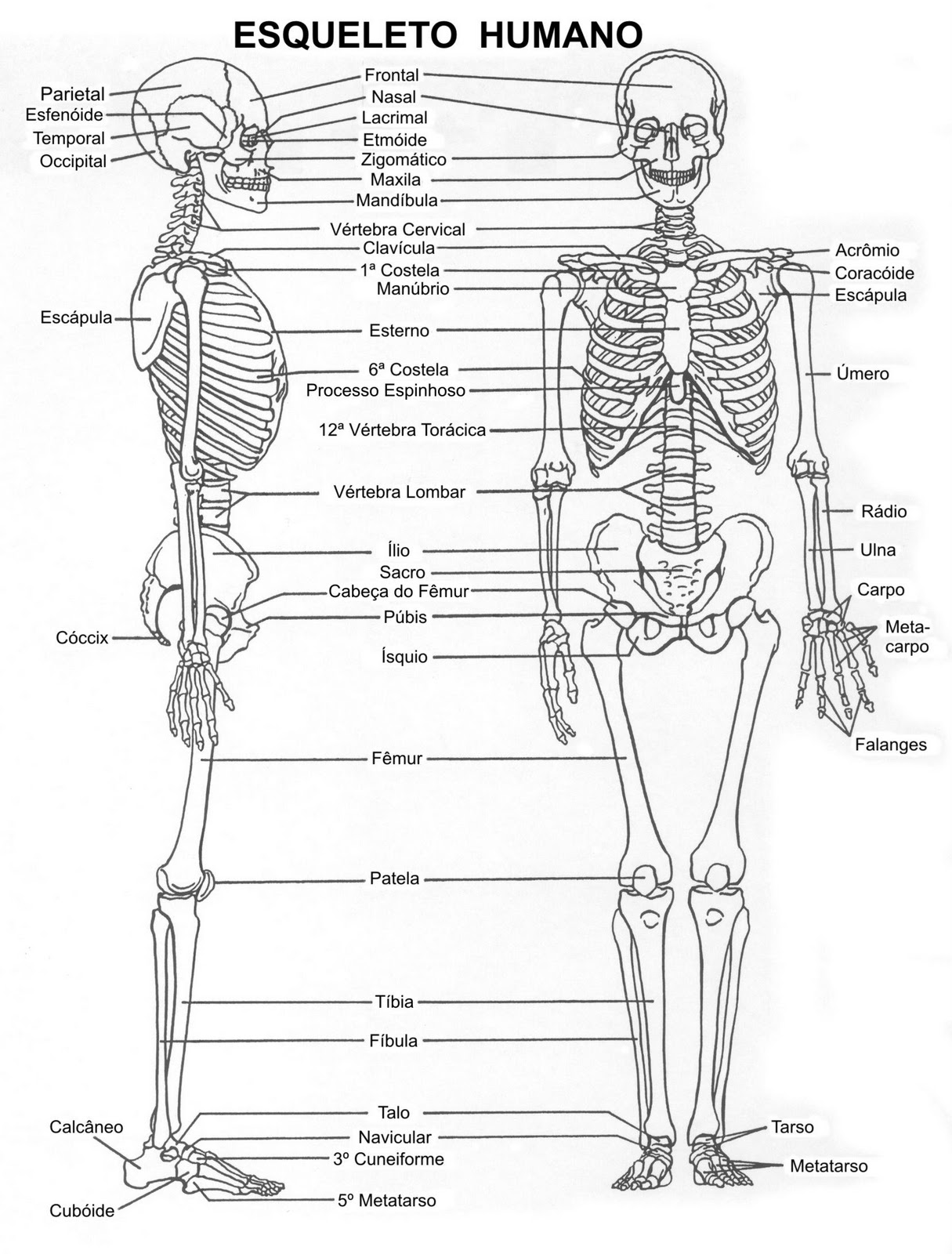 Diagrama Del Esqueleto Humano - Block And Schematic Diagrams •