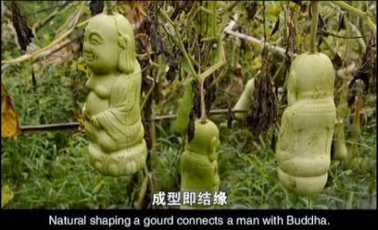 Labu Tumbuh Dalam Berbagai Bentuk