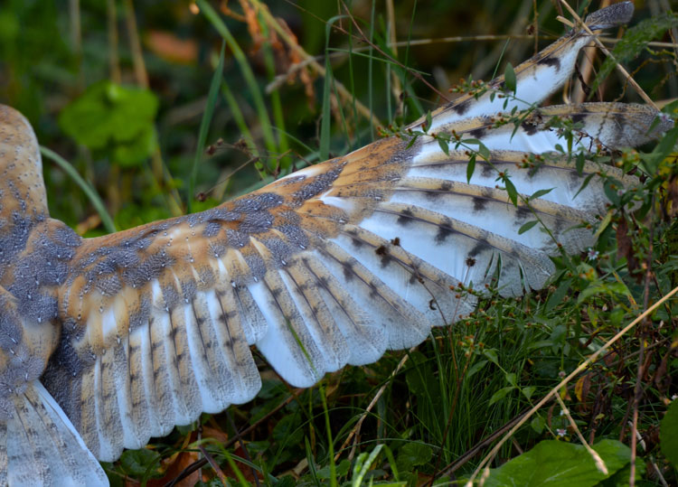 "Wing feather details of a barn owl -- ""Storm"" from RAPTOR, Inc."