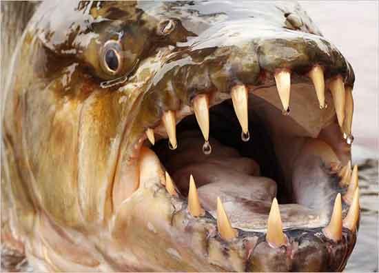 Pez Tigre del Congo Pez-tigre-goliat-boca