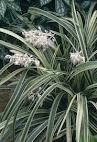 Tanaman Ophiopogon (jaburan)