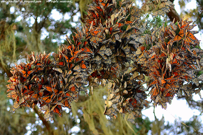 monarch butterfly sanctuary grove pacific california tourism places to see things do monterey bay