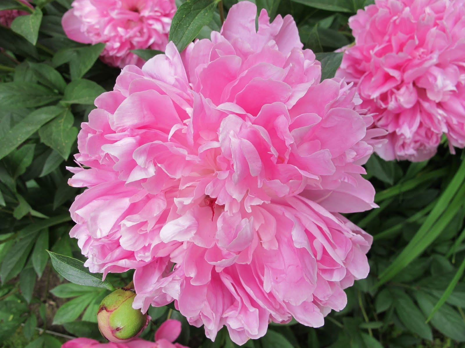 Robin Talks Cooks and Travels Peonies are at their peak