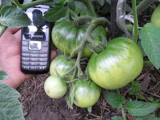 помидоры быстро набирают вес