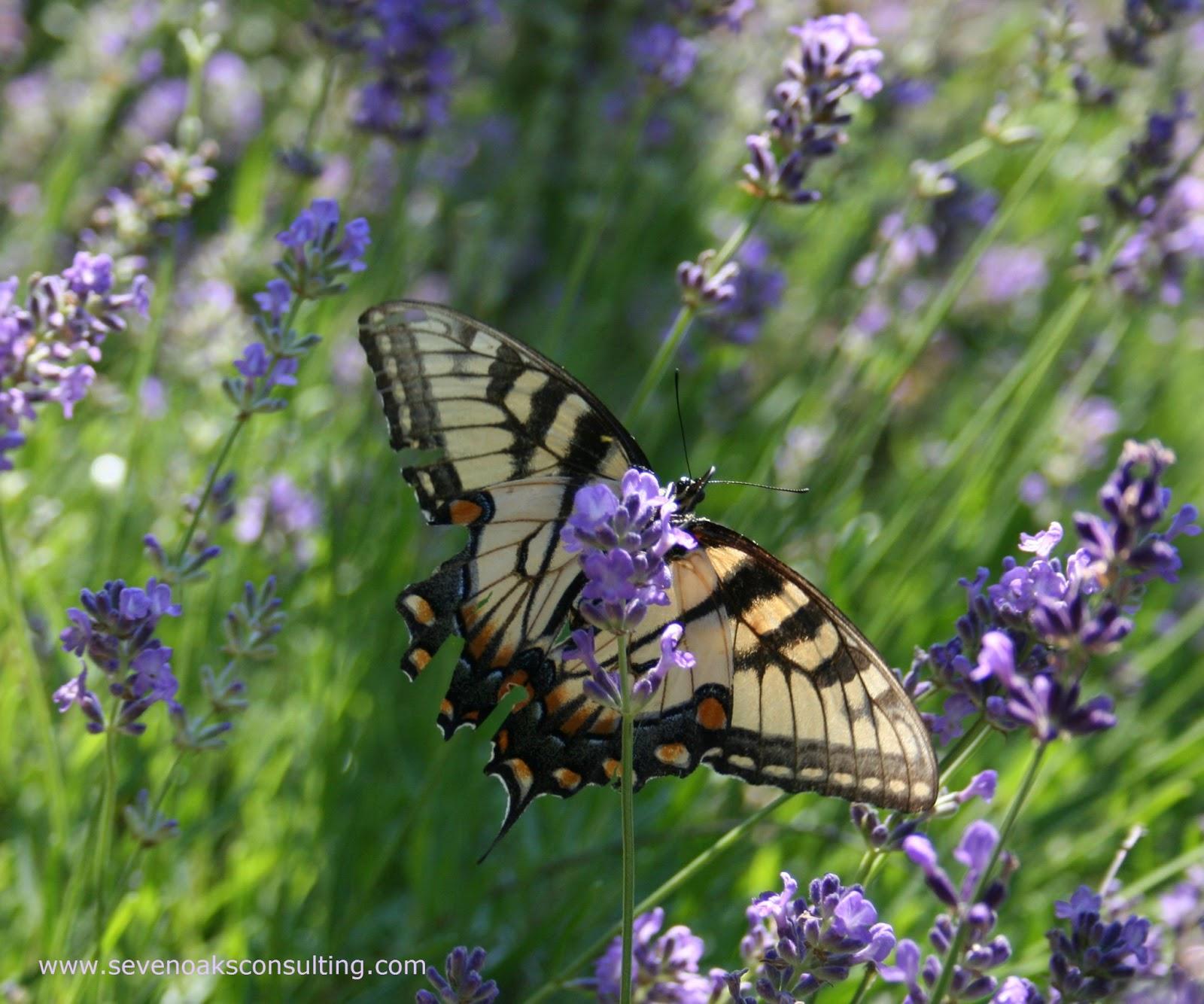 Seven Oaks Home and Garden Joy Perennials to Attract Butterflies