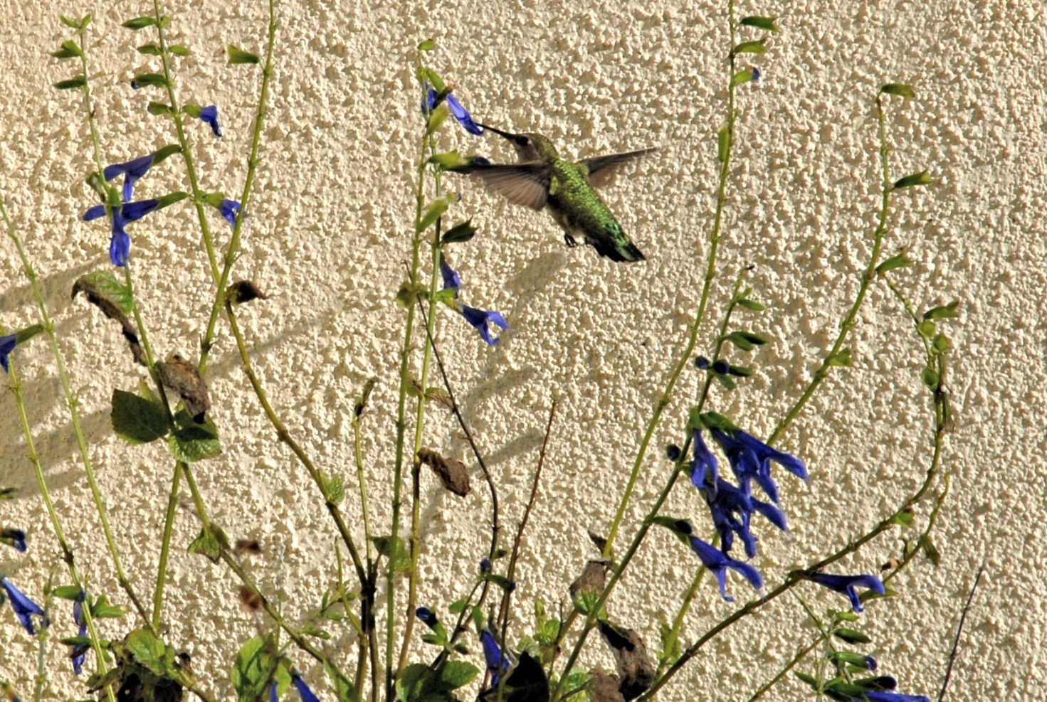 hummingbird around the perrenials