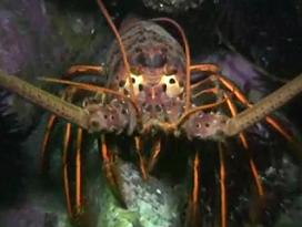 marine lobster