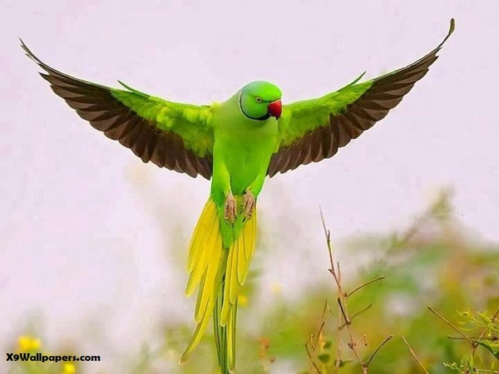 Green Parrot Photography Indian Green Necks Parrots Are